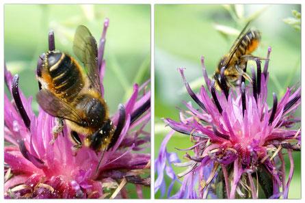 Bild: Blattschneiderbiene, Megachile, an Kornblume
