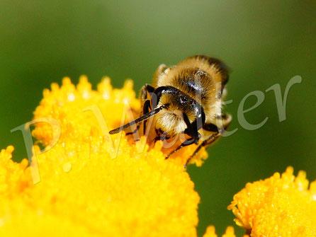 Bild: Seidenbiene am Rainfarn