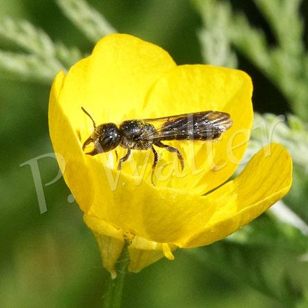 Bild: eine Hahnenfuß-Scherenbiene, Osmia florisomnis,  am Hahnenfuß