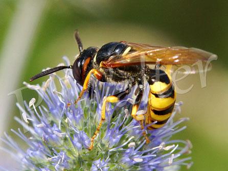 20.08.2016 : Bienenwolf an einer Distelblüte
