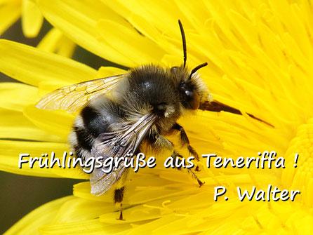 Märzurlaub auf Teneriffa : eine Pelzbiene an einer Gänsedistel