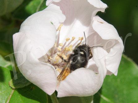Bild: Weibchen der Gehörnten Mauerbiene, Osmia cornuta, putzt sich in einer Apfelquittenblüte