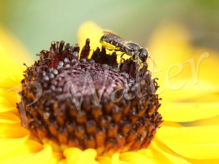 06.08.2016 : Löcherbiene am Sonnenhut