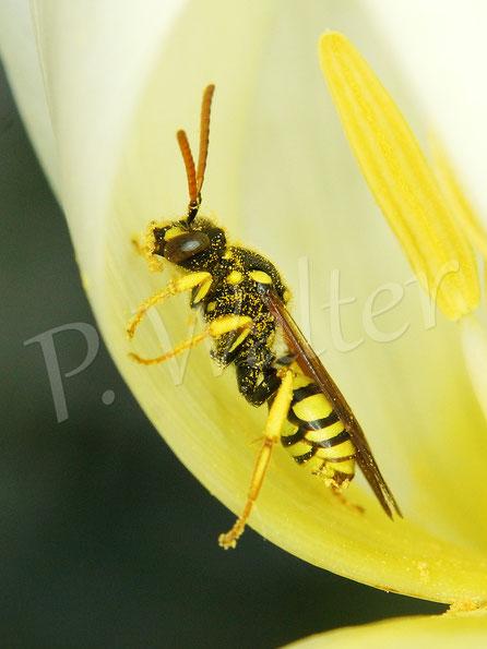 Bild: eine Wespenbiene, Nomada spec., in einer Tulpe