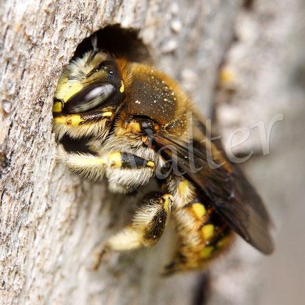 10.06.2018 : Garten_Wollbiene, ein weiteres Männchen krabbelt aus seinem Schlafplatz