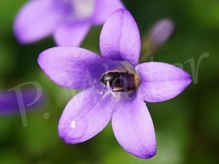 Bild: Glockenblumen-Scherenbiene, Osmia rapunculi, Männchen in Blüte