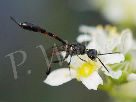 Bild: Schmalbauchwespe an Blüten eines Steinbrech, Saxifraga