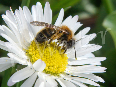 22.03.2017 : Wildbiene am Gänseblümchen