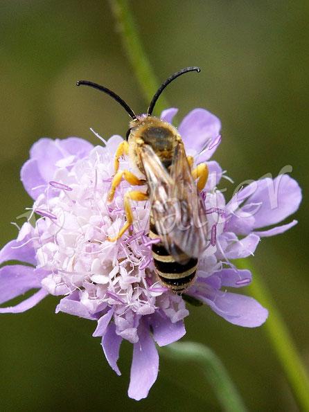 Bild: Gelbbindige Furchenbiene, Halictus scabiosae, Männchen, Skabiose