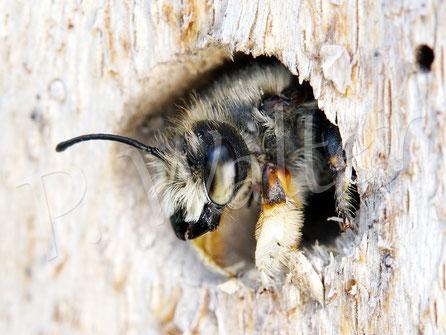 09.07.2016 : Wildbiene, keiner Ahnung welcher Art, die scheinbar in dem Bohrloch übernachtet hat und um 10 Uhr früh langsam raus kam. Man beachte dieses erste Beinpaar ...