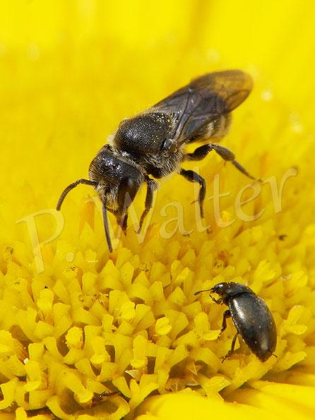 Bild: Löcherbiene, Osmia truncorum, am Ochsenauge, vorne ein Rapsglanzkäfer