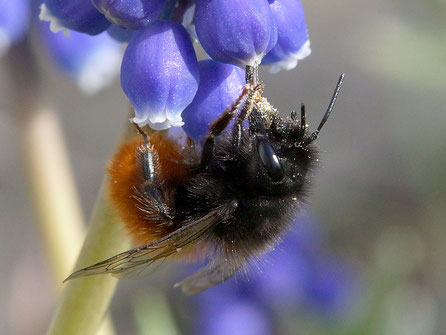 Bild: Gehörnte Mauerbiene, Weibchen, Osmia cornuta, Traubenhyazinthe