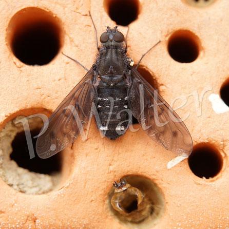 Bild: Trauerschweber, Anthrax anthrax, mit Lavenhaut