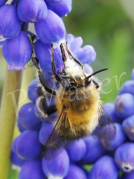 Bild: Frühlings-Pelzbiene, Anthophora plumipes an der Traubenhyazinthe