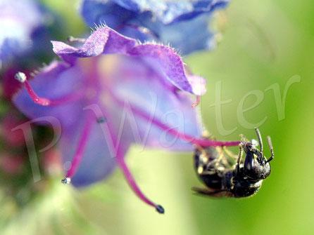 Bild: Maskenbiene am Natternkopf
