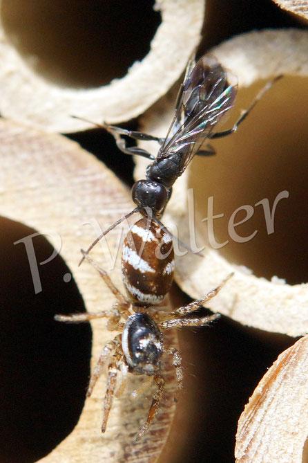 Bild: Wegwespe Dipogon spec. mit einer Springspinne
