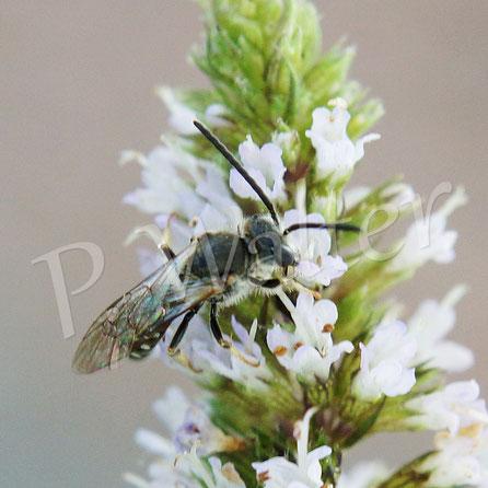 Bild: Furchenbiene, Männchen, englische Minze