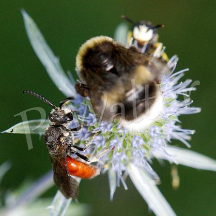 Bild: Große Blutbiene, Sphecodes albilabris, Bienenwolf, Philanthus triangulum, Männchen, Hummel, blaue Kugeldistel
