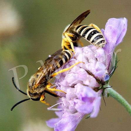 Bild: zwei Männchen der Gelbbindigen Furchenbiene, Halictus scabiosae, an einer Skabiose