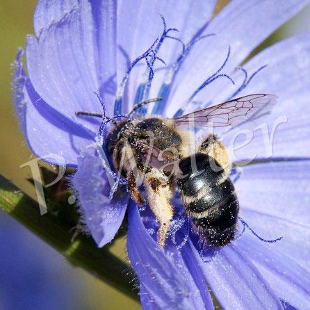 Bild: Wildbiene der Wegwarte