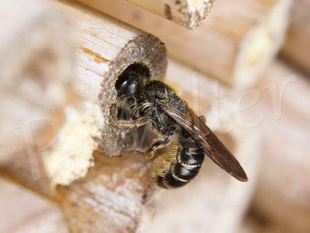 26.05.2017 : wohl eine Hahnenfuß-Scherenbiene