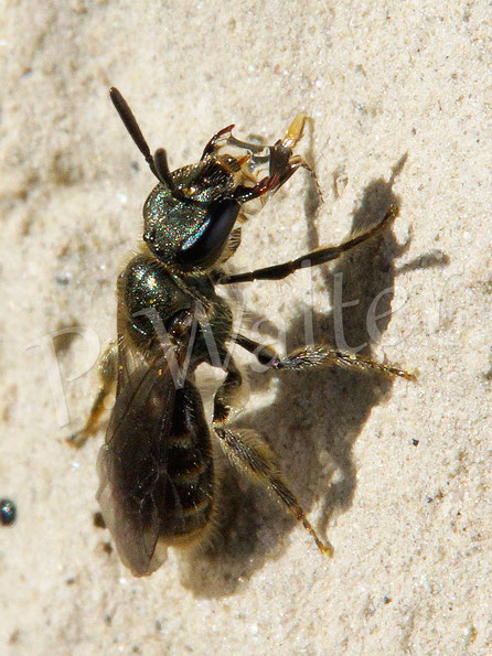 Bild: Furchenbiene