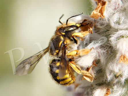 Bild: Garten-Wollbiene, Große Wollbiene, Anthidium manicatum, am Woll-Ziest