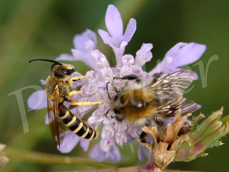 Bild: Gelbbindige Furchenbiene, Halictus scabiosae, Männchen, Hummel, Skabiosenblüte
