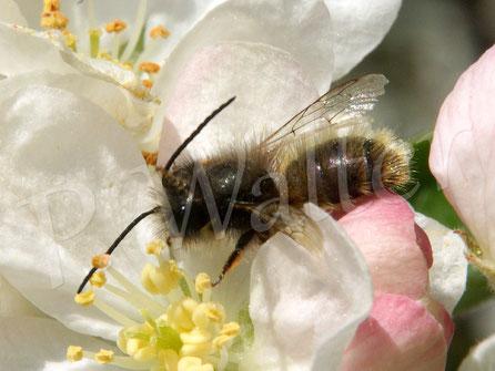 Bild: Rostrote Mauerbiene, Osmia bicornis, an einer Zierapfelblüte