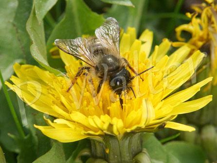 Bild: Rostrote Mauerbiene, Osmia bicornis, am Löwenzahn