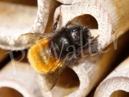Bild : Gehörnte Mauerbiene, Osmia cornuta