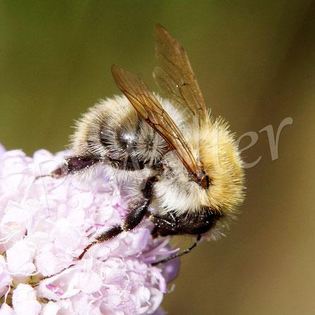 Bild: auch die Hummeln, Bombus spec., lieben die unzähligen Skabiosenblüten