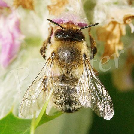 28.06.2016 : eine unbestimmte Wildbiene ? Familie ?
