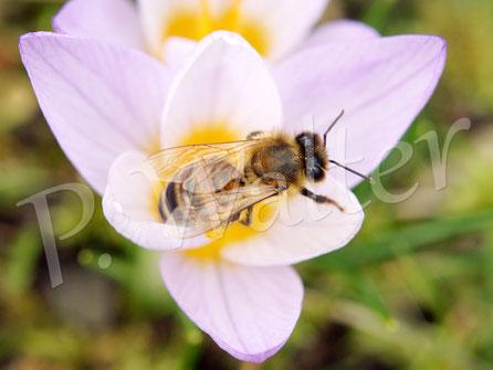 04.03.1017 : Honigbiene am Krokus