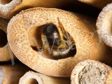 04.06.2016 : eine Mauerbiene beim Verschließen des Nistgangs