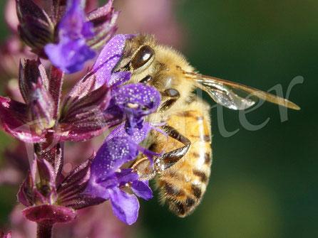 Bild: Honigbiene am Salbei