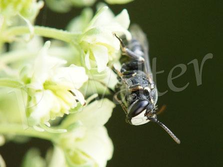 25.05.2017 : Maskenbiene auf der Gelben Resede