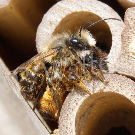 30.04.2017 : Rostrote Mauerbienen