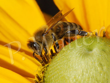Bild: Honigbiene an einer Sonnenhutblüte