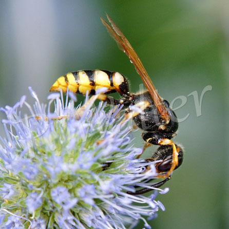 Bild: Bienenwolf, Philanthus triangulum, Weibchen, blaue Kugeldistel