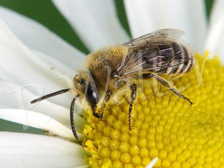 Bild: eine Seidenbiene auf der Wiesenmargerite