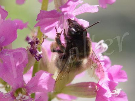 26.05.2017 : Frühlings-Pelzbiene an der Pechnelke
