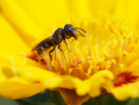 Bild: Löcherbiene, Osmia truncorum, am Mädchenauge