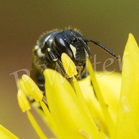 Bild: Maskenbiene auf den Blüten der Felsen-Fetthenne