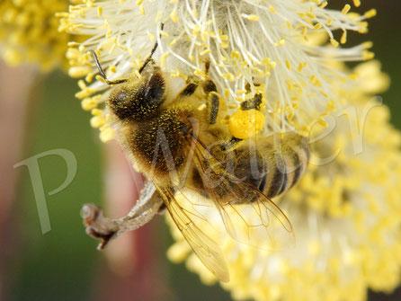 15.03.2017 : Honigbiene an der Hängeweide
