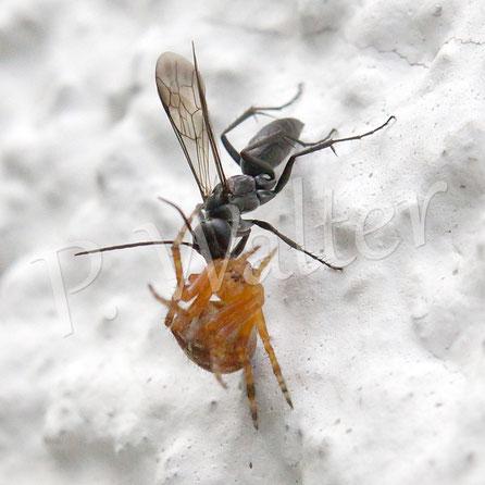 Bild: eine Tönnchenwegwespe (Auplopus carbonarius) zieht eine kleine Gartenkreuzspinne die Hauswand hoch