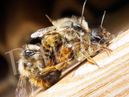 30.04.2017 : Rostrote Mauerbienen, nahezu im Sekundentakt mischt sich ein weiteres Männchen ein ...