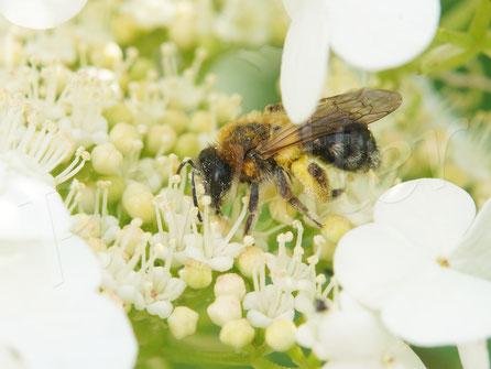 13.05.2018 : eine Sandbienenweibchen (wie auf anderen Fotos zu sehen, nicht die Rotbürstige) am Schneeball