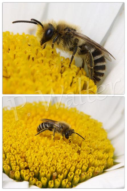 Bild: Seidenbiene, Margeritenblüte