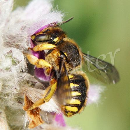 Bild: Garten-Wollbiene, Große Wollbiene, Anthidium manicatum, Weibchen, am Woll-Ziest